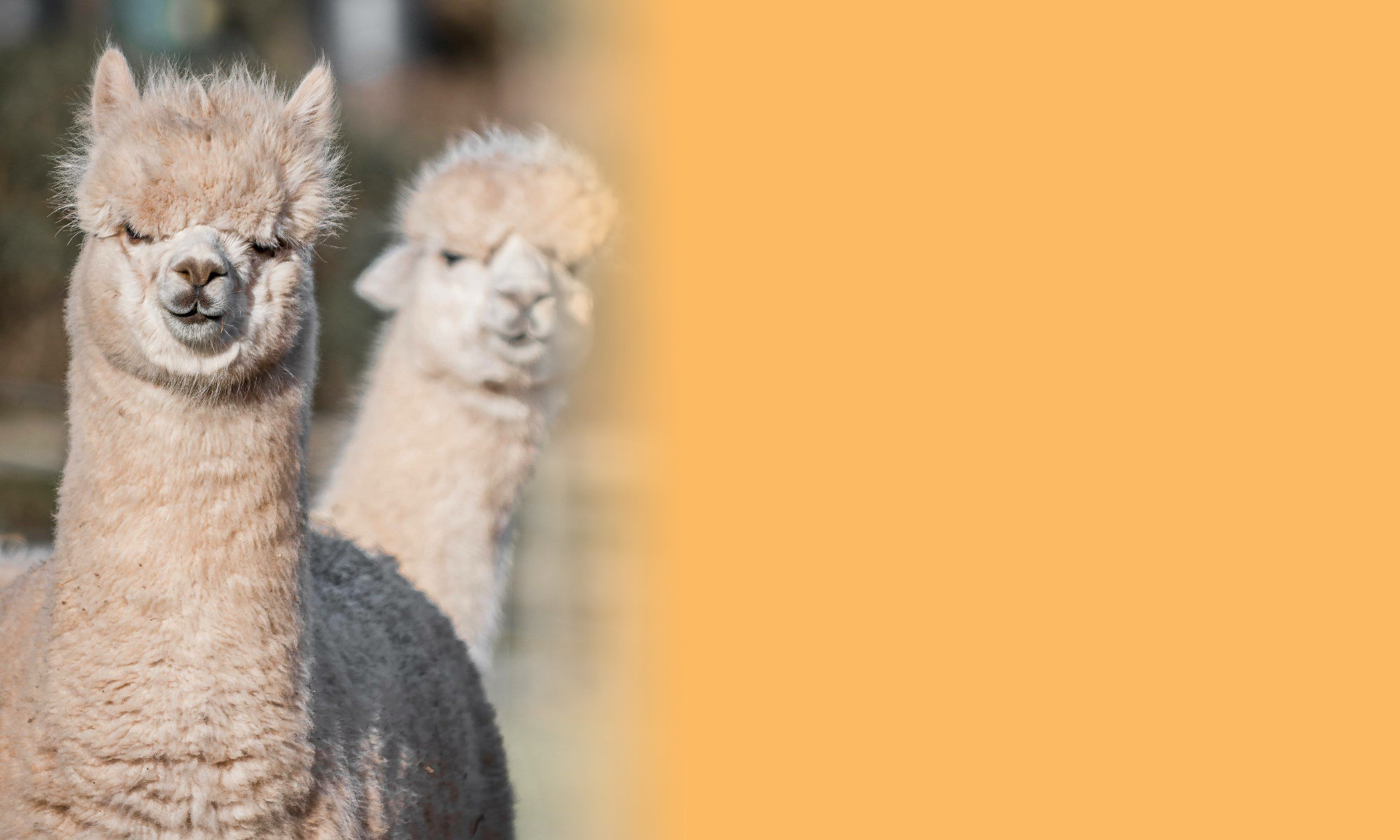 West Shires Alpaca Group